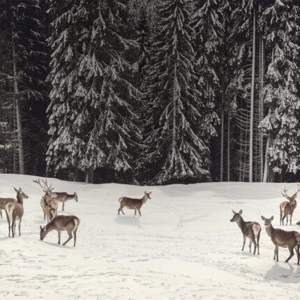 Cerbiatti sulla neve