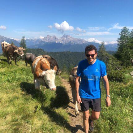 Mucche in alpeggio sulle montagne trentine